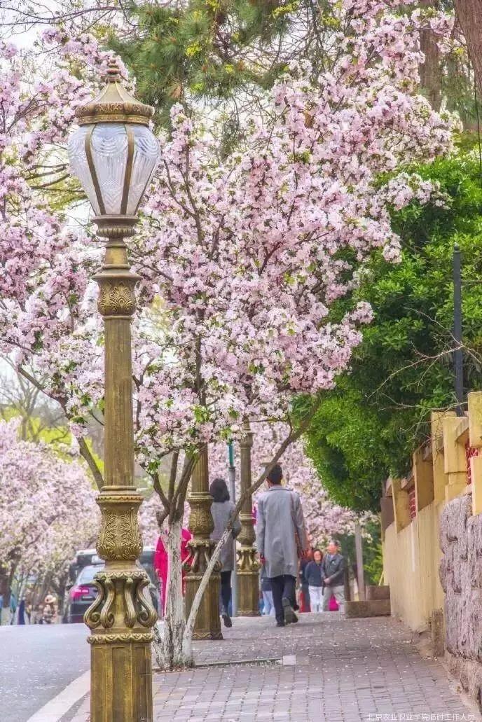 漫步在春天的青岛,你时不时,便会遇见一个粉色的童话世界.