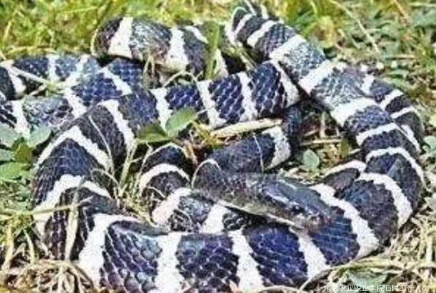圆斑蝰蛇 被圆斑蝰蛇咬伤者,会出现全身的凝血功能障碍,口腔出血不